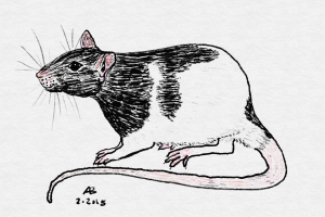 A sketch of a black hooded rat.