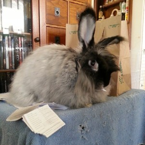 My bunny Ziyal sits and shreds my tax receipts for me.