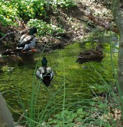 Three mallards enjoy the Jenkintown Creek
