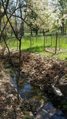 New fenced saplings on the far side of Jenkintown Creek