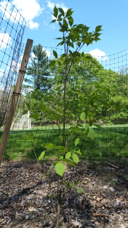 One of many carefully fenced saplings in the new Jenkintown Creek buffer