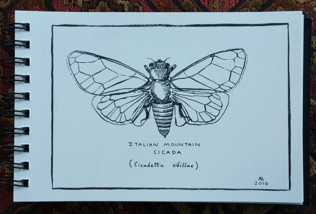 A black and white illustration of an Italian Mountain Cicada, done in the style of old engraved illustrations.