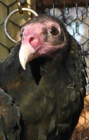 A beautiful male turkey vulture